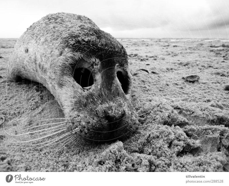 Gestrandet Himmel Meer Tier Strand Landschaft Umwelt kalt Tod Tierjunges Traurigkeit klein Sand Wildtier Trauer Fell Nordsee
