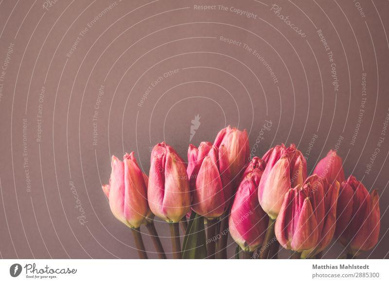 rosa Tulpen Umwelt Natur Pflanze Frühling Blume Blüte Blühend Duft ästhetisch natürlich Lebensfreude Frühlingsgefühle Liebe Farbe rein Wachstum Farbfoto