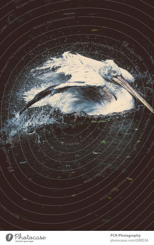 Landungswasser Tier Wildtier Vogel Taube Schwan Zoo 1 tauchen Pelikan Flügel Tragfläche Metallfeder Wassertropfen Wasserspritzer Wellen Farbfoto Außenaufnahme