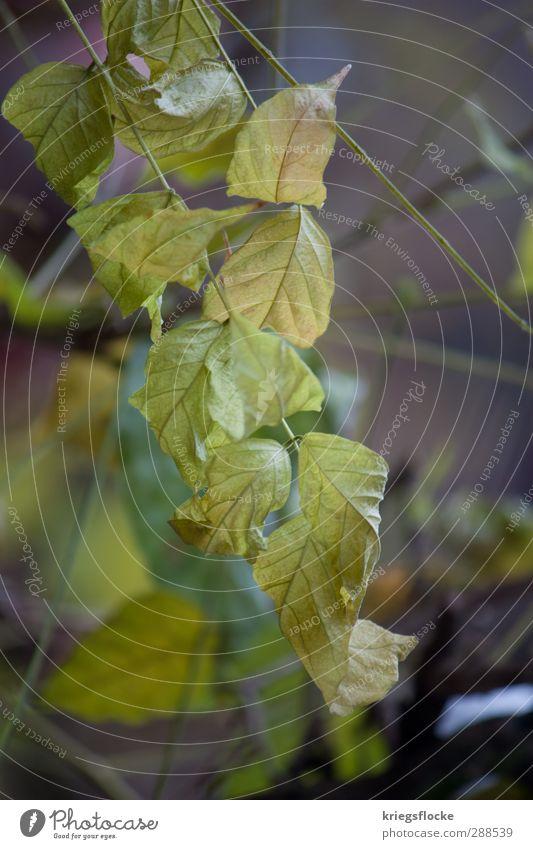Blätter im Winter Natur Pflanze Herbst Sträucher Blatt Grünpflanze dunkel grün trösten ruhig Schmerz kalt Schwäche welk rau Farbfoto Gedeckte Farben