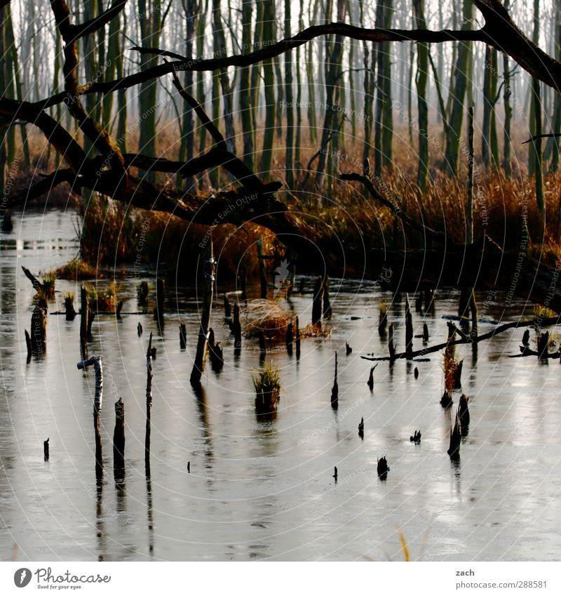 Herbst Umwelt Natur Landschaft schlechtes Wetter Nebel Pflanze Baum Moos Birke Birkenwald Wald Moor Sumpf Holz Wasser verblüht braun Endzeitstimmung Verfall