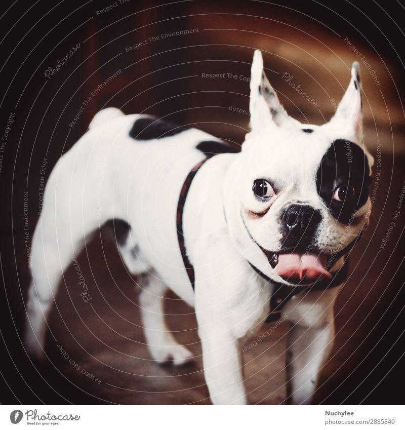 Niedliche Bulldogge Gesicht Tier Haustier Hund Pfote klein Neugier niedlich retro schwarz weiß Mops Zunge Reinrassig Terrier Hündchen lutschen treu reizvoll