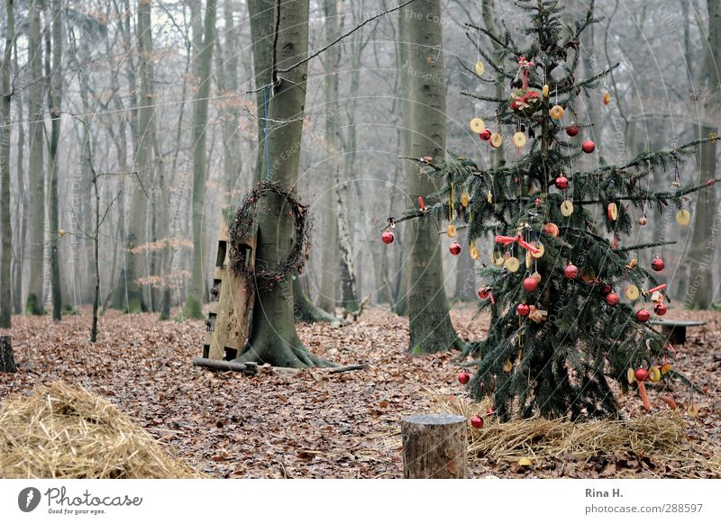 Schmucker Wald III Weihnachten & Advent Winter Baum authentisch kalt Freude Lebensfreude Religion & Glaube Tanne Weihnachtsbaum geschmückt Blatt Buchenwald