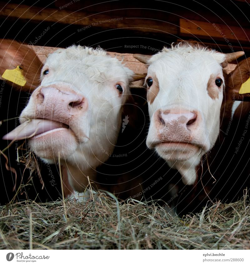 Schleckermäulchen Natur weiß Tier Umwelt Tierjunges lustig braun Zusammensein beobachten Neugier Appetit & Hunger entdecken Kuh dick Fressen Zunge