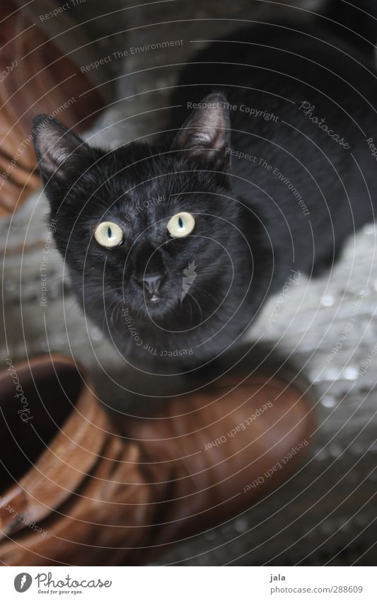 und wo ist mein nikolausi? Schuhe Stiefel Tier Haustier Katze 1 Blick Neugier Farbfoto Innenaufnahme Menschenleer Tag Tierporträt Blick in die Kamera