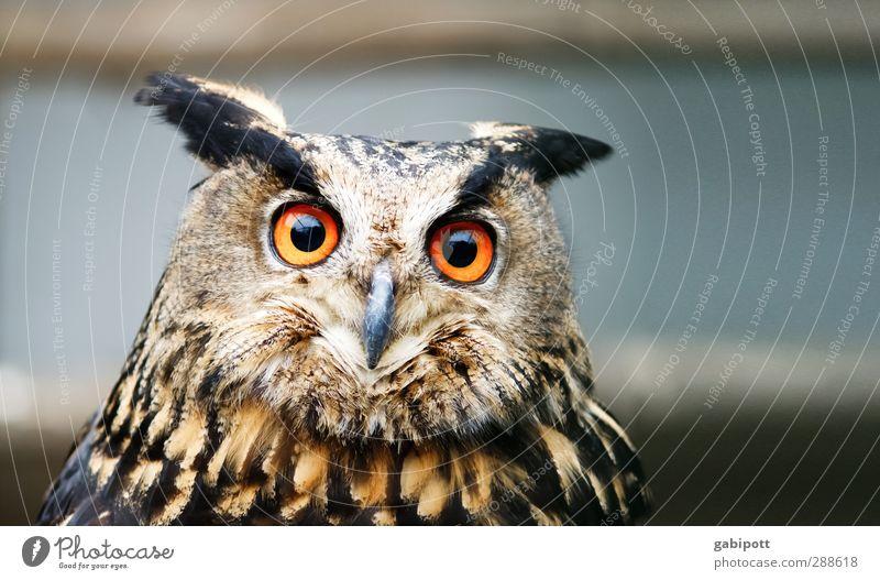 shuhu Natur Tier Ferne Auge braun orange Wildtier wild Zufriedenheit groß beobachten hören Konzentration Jäger Trieb Eulenvögel