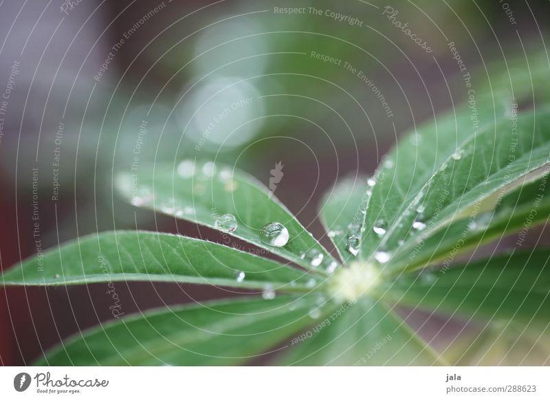 tautropfenmakro Natur grün Pflanze Blatt ästhetisch Wassertropfen violett Grünpflanze