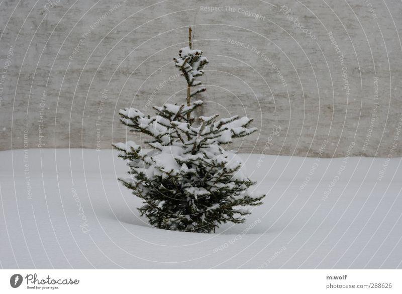 Schneetreiben Pflanze Winter Schneefall Baum Tanne Weihnachtsbaum Dorf Mauer Wand Fassade Wachstum grau grün weiß Einsamkeit kalt ruhig Schneeflocke Wetter
