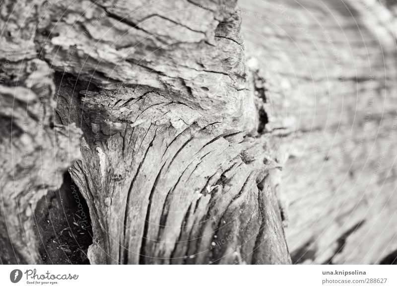 spröde Natur Pflanze Baum Holz natürlich Senior Umwelt Vergänglichkeit Baumstamm rau trocken Schwarzweißfoto Nahaufnahme Detailaufnahme Muster