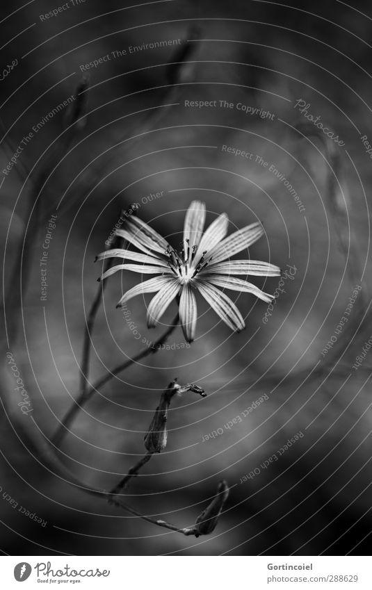 Wo Schatten ist, da ist auch Licht Pflanze Blume Blüte dunkel hell schön schwarz weiß leuchten Trauer Tod Beileid Farbfoto Schwarzweißfoto Außenaufnahme