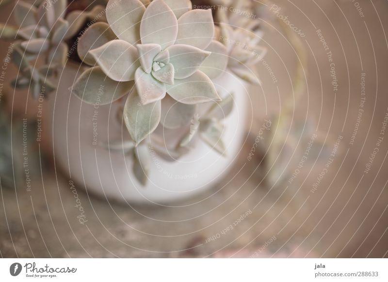 sukkulente schön Pflanze ästhetisch Pastellton Topfpflanze Sukkulenten
