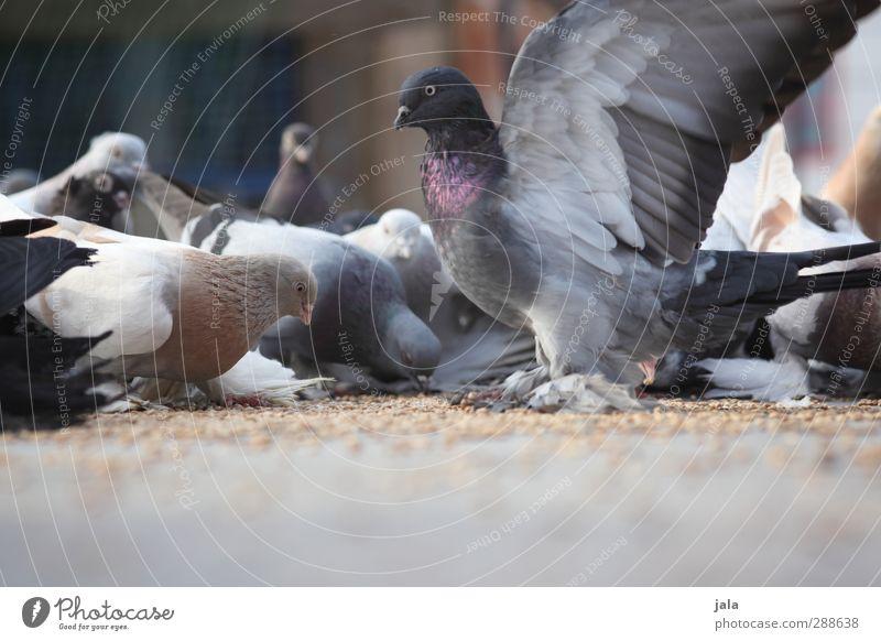 täubchen Tier Vogel Taube Tiergruppe Schwarm ästhetisch Korn Fressen Farbfoto Außenaufnahme Menschenleer Textfreiraum unten Tag picken