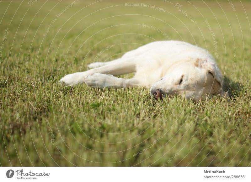 jagadamba, you might. Tier Haustier Hund 1 leuchten Liebe liegen schlafen träumen Labrador blond verträumt Farbfoto mehrfarbig Außenaufnahme Nahaufnahme
