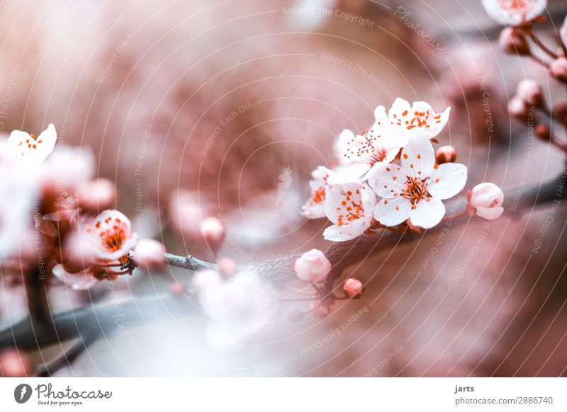 kirschblüten Pflanze Frühling Schönes Wetter Baum Blüte Garten Park Blühend ästhetisch frisch hell schön natürlich positiv rosa Frühlingsgefühle Natur