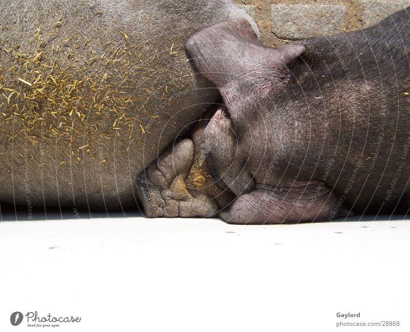 Schweine Bauernhof Zoo