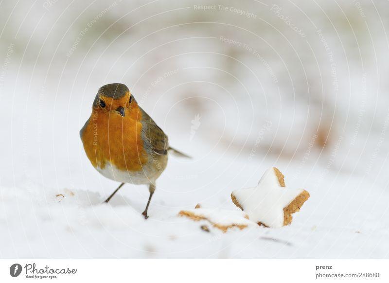 robin Natur Weihnachten & Advent rot Tier Winter Umwelt Schnee Vogel braun Wildtier Singvögel Zimtstern Rotkehlchen