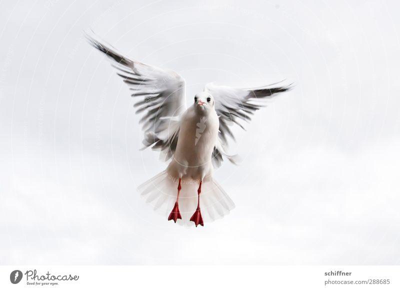 Friedenstaube in spe Himmel (Jenseits) Wolken Tier Freiheit fliegen Vogel Feder Tierfuß Flügel Frieden Möwe Schweben Vogelflug zentral flattern Möwenvögel