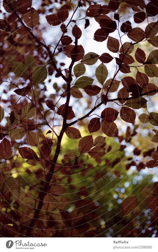i'll stay here Umwelt Natur Urelemente Luft Himmel Pflanze Baum Buche Buchenblatt Buchenwald leuchten braun grün durchsichtig durchleuchtet schimmern Ast Geäst