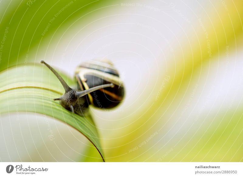 Schnecke auf grünem Blatt Helicidae Riesenglanzschnecke Garten Gartentier Pflanze Klinge Sommer außerhalb Band gebändert gelb schwarz winzig klein Schädling