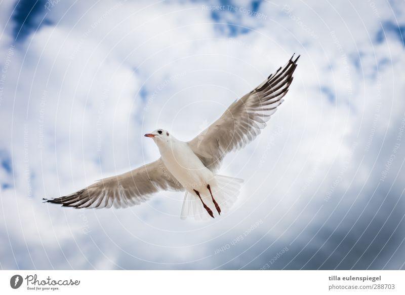 Kommt ein Vogel geflogen... Himmel Wolken Wildtier 1 Tier fliegen Flügel Möwe Schweben gleiten Farbfoto Tierporträt