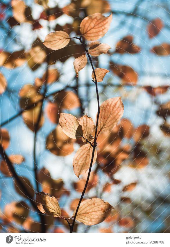 Alles ist erleuchtet Umwelt Natur Pflanze Himmel Herbst Schönes Wetter Baum Sträucher Blatt Wildpflanze natürlich trocken wild blau braun orange Fröhlichkeit
