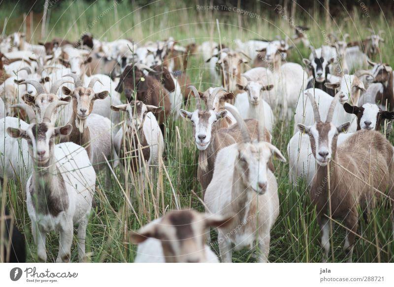 ziegenwiese Natur grün Pflanze Tier Wiese Gras braun natürlich Tiergruppe Nutztier Ziegen