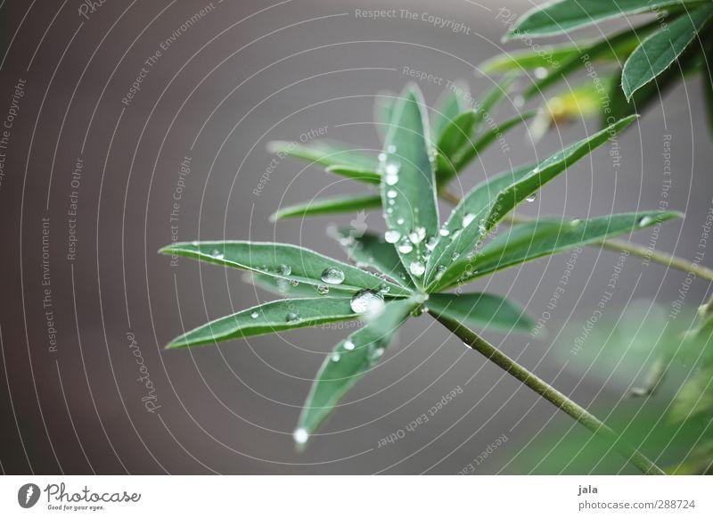 tau Natur Pflanze Wassertropfen Blatt Grünpflanze ästhetisch natürlich grau grün Farbfoto Außenaufnahme Nahaufnahme Menschenleer Textfreiraum links