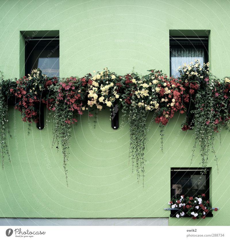 Grüne Woche grün schön Pflanze Blume Blatt Haus Fenster Wand Mauer Blüte natürlich Fassade Wohnung Zufriedenheit Wachstum hoch