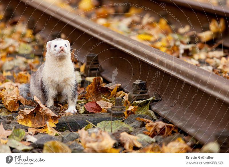 Frettchen im Herbst Natur Ferien & Urlaub & Reisen Landschaft Blatt Tier Wald Umwelt Leben Spielen Glück Garten Lifestyle Freiheit Freundschaft Park