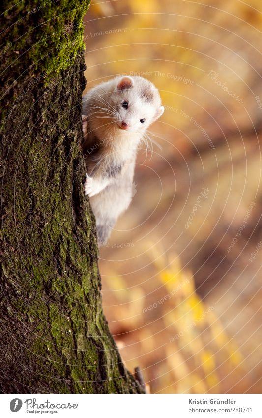 Frettchen am Baum Natur Freude Tier Landschaft Wald Herbst lustig Glück Garten Park Wildtier Freizeit & Hobby Zufriedenheit wandern Fröhlichkeit Abenteuer