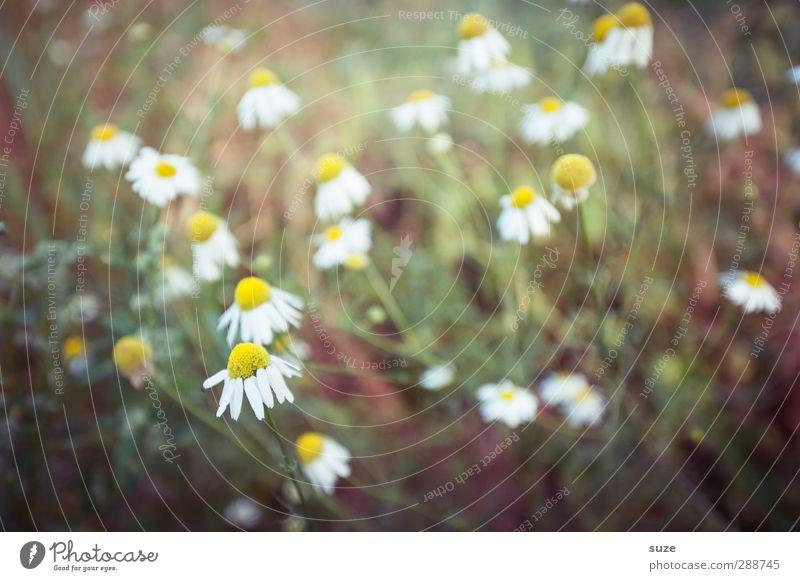 Camillas Natur grün schön weiß Pflanze Blume gelb Leben Blüte Gesundheit natürlich authentisch Sträucher viele Freundlichkeit Kräuter & Gewürze