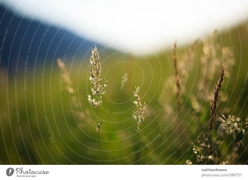 Abend Umwelt Natur Landschaft Pflanze Sommer Schönes Wetter Gras Wildpflanze Wiese Feld Alpen Berge u. Gebirge glänzend leuchten Wachstum Duft einfach
