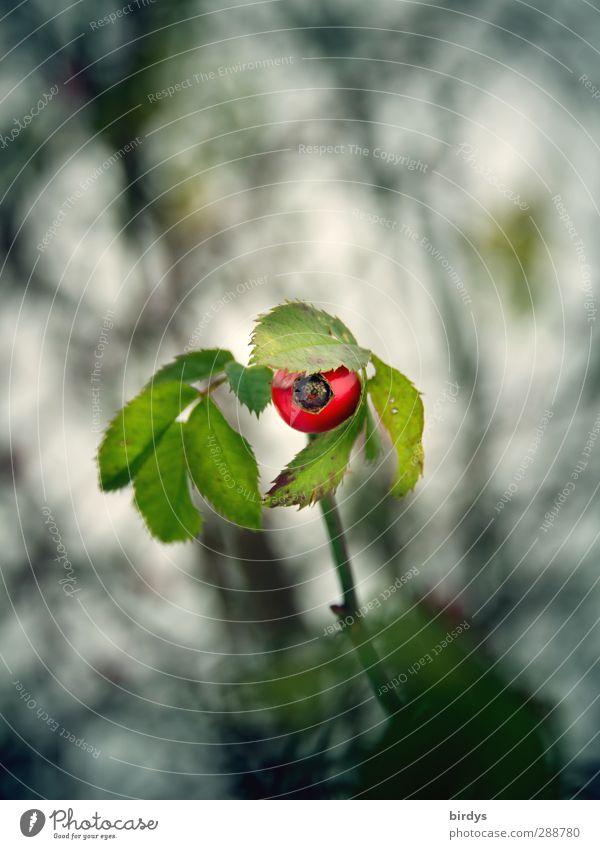 Kopftuch erlaubt Stil Natur Pflanze Rose Blatt Hagebutten Blick lustig niedlich positiv grün rot Leben elegant Neugier Schutz unschuldig 1 bedeckt Farbfoto