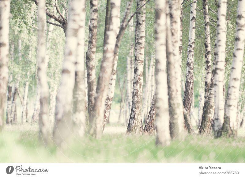 Vom Suchen und Finden. Natur Sommer Baum Gras Birkenwald stehen Wachstum natürlich grün schwarz weiß Zufriedenheit Erholung Idylle ruhig Farbfoto