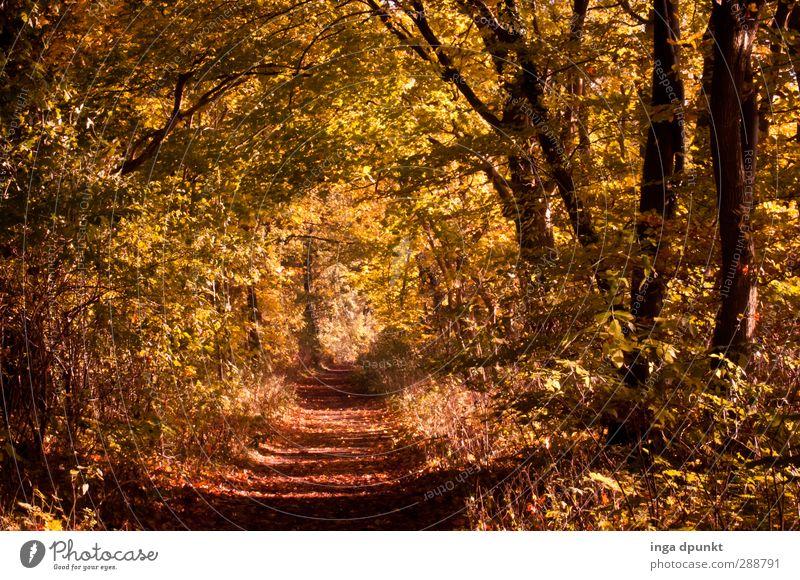 Goldener Mittelweg Umwelt Natur Landschaft Herbst Baum Wald Vergänglichkeit Herbstlaub herbstlich Fußweg Wege & Pfade Spaziergang laubfall Farbfoto