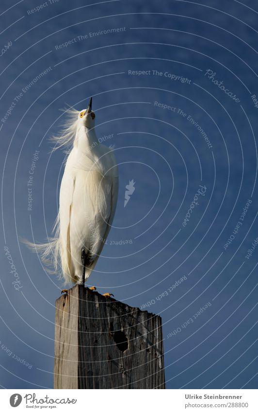 Vom Winde verweht Reiher Seidenreiher Egretta garzetta Feder wehen Holz Holzpfahl Dalben Vogel Schreitvögel weiß zart Florida Amerika stehen Stolz vertikal