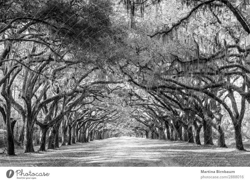 Wormsloe park, life oak tree alley, Savannah Ferien & Urlaub & Reisen Natur Sommer Park Kraft ästhetisch Schutz Unendlichkeit Geborgenheit gigantisch Georgia