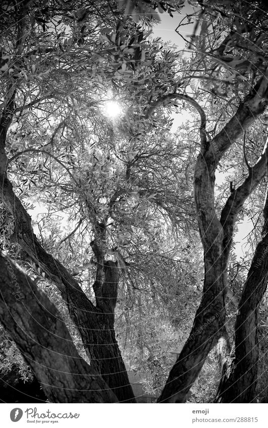 Athena Natur weiß Pflanze Baum Blatt schwarz Umwelt Ast