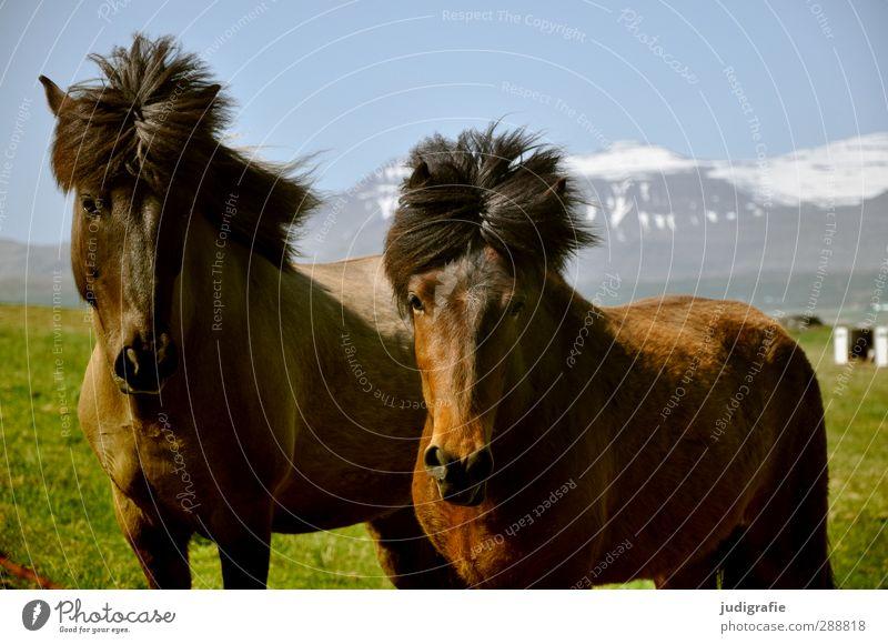 John und Ringo Umwelt Natur Landschaft Klima Schönes Wetter Berge u. Gebirge Schneebedeckte Gipfel Island Tier Wildtier Pferd Island Ponys 2 Freundlichkeit wild