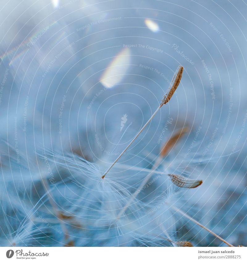 Löwenzahnblütenpflanze im Frühjahr Blume Pflanze Samen geblümt Garten Natur Dekoration & Verzierung abstrakt Konsistenz weich Außenaufnahme Hintergrund neutral