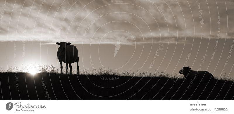 Deichschafe Himmel ruhig Tier dunkel Küste Stimmung Schönes Wetter Nordsee Haustier Schaf Schwarzweißfoto