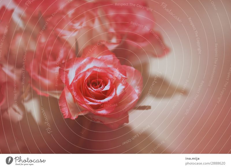Rosen Umwelt Natur Pflanze Frühling Sommer Blume Blüte Garten Park Blühend ästhetisch schön rosa Duft elegant Farbe Kitsch Liebe Liebesaffäre Sinnesorgane
