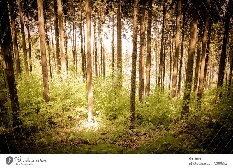 Golden Forest Umwelt Natur Landschaft Pflanze Frühling Sommer Schönes Wetter Baum Wald atmen Duft hell Frühlingsgefühle Abenteuer Idylle Klima