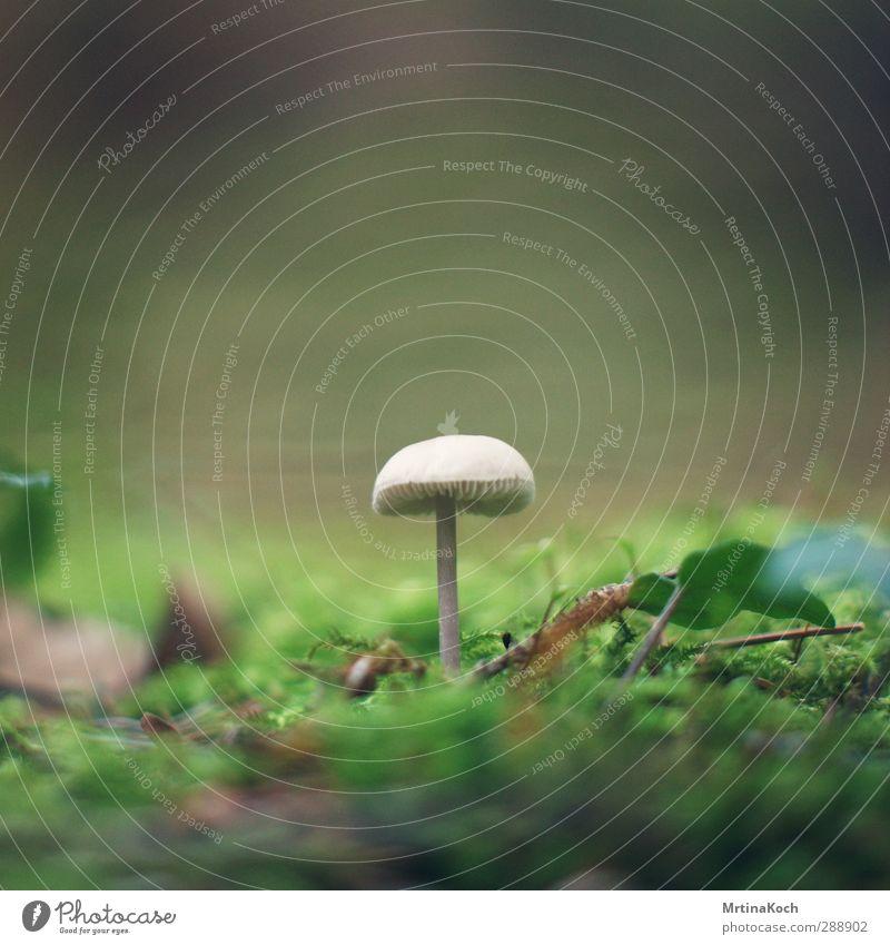 magic mushroom. Umwelt Natur Landschaft Pflanze Tier Erde Frühling Herbst Schönes Wetter Gras Efeu Park Wiese Wald Stimmung Pilz Lamelle Pilzhut Farbfoto