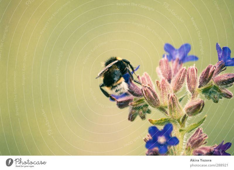 Sammelleidenschaft Natur Pflanze Blüte natürlich Ernährung Sammlung Blütenknospen Hummel