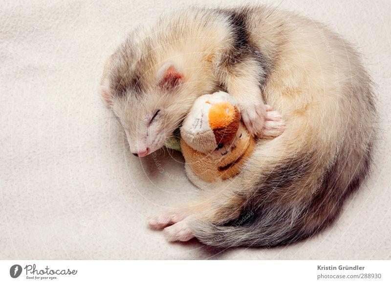kuschelndes Babyfrettchen Natur schön Tier ruhig Umwelt Liebe Glück träumen Wildtier Zufriedenheit Sauberkeit Trauer genießen berühren Fell Schutz
