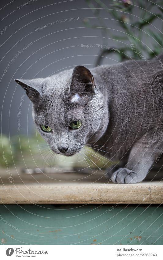 Bony Katze Natur blau grün schön Tier Erholung Wärme grau natürlich glänzend sitzen elegant leuchten Tisch niedlich