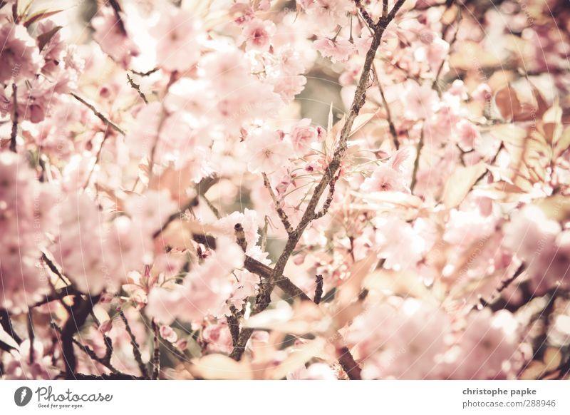 Osaka-Style Natur schön Pflanze Baum Frühling Blüte Park Blühend Asien Duft Japan Grünpflanze Kirschblüten Frühlingsgefühle Apfelblüte Mandelblüte
