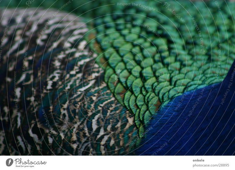 Pfauschau mit drei Seiten grün Vogel Feder blau Rücken Detailansicht Scheune