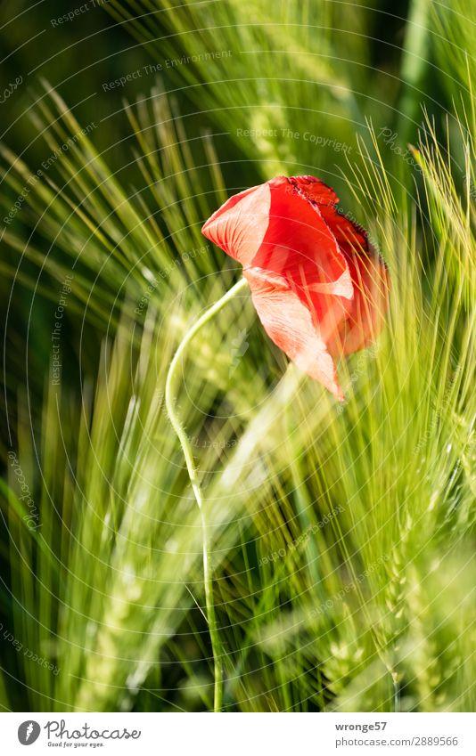 Oster-Mohn-Tag Natur Pflanze Sommer Blume Blüte Nutzpflanze Getreide Feld Blühend Wachstum grün rot schwarz Mohnblüte Kornfeld Ähren Hochformat Farbfoto
